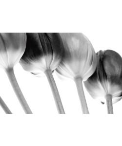 Tom Lambert, Tulips Array ll