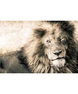 Toby Seifinger  Lion-King