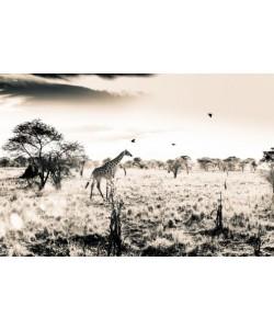 Toby Seifinger  Giraffe