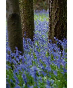 Tom Lambert, Bluebell Wood l