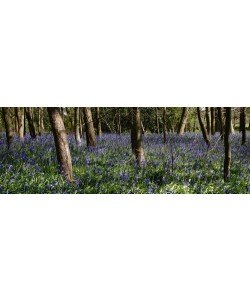 Tom Lambert, Bluebell Wood lI