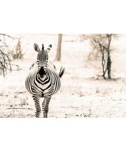 Toby Seifinger  Zebra I