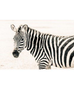 Toby Seifinger  Zebra II