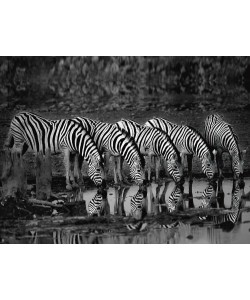 Xavier Ortega, Zebras Reflection